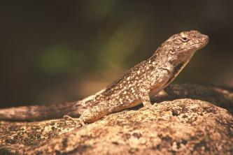 Lizard on a Rock.