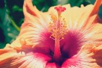 Hibiscus at Waimea Falls.