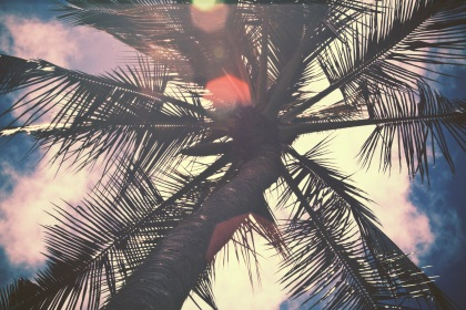 Palm Tree at Waimea Valley Falls.